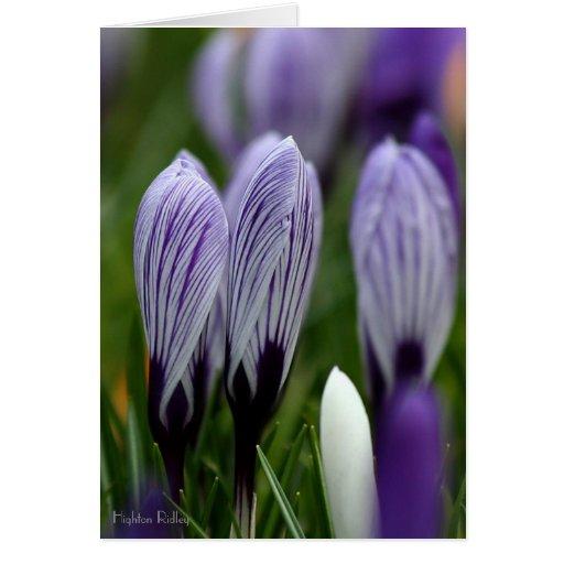 Spring Crocuses blank notelet / card