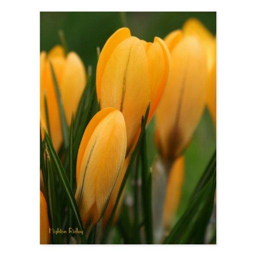 Spring Crocuses Post Cards