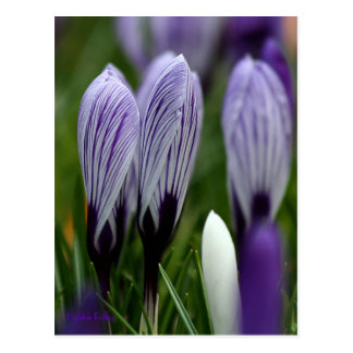 Spring Crocuses postcard