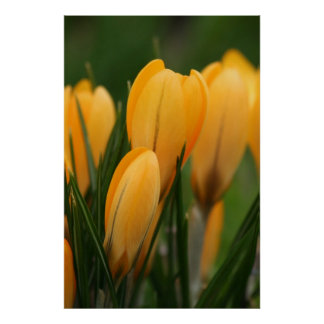Spring Crocuses poster print