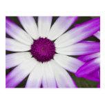 Spring flowering Senetti flowers macro shot Post Card