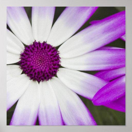 Spring flowering Senetti flowers macro shot Poster