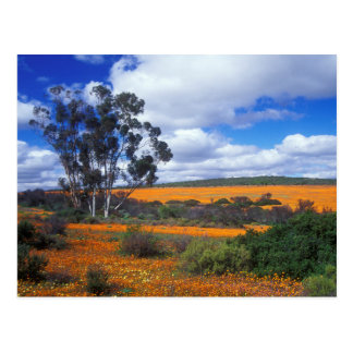 Spring flowers in Namaqualand, South Africa Postcard