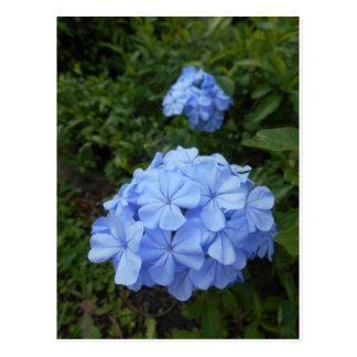 Spring Flowers Postcard Series - Plumbago