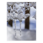 Spring Icicles Postcard