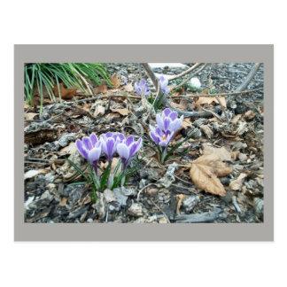 Spring is Here! | Purple Crocus Flowers Postcard