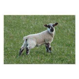 Spring Lamb Art Photo