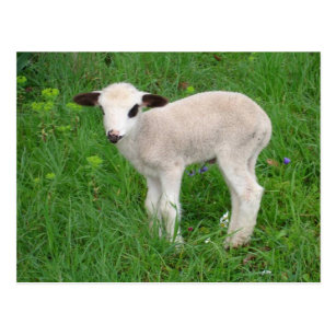 Lamb Gifts Gift Ideas Zazzle Uk