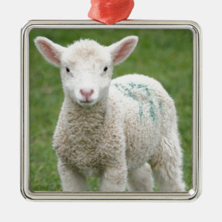 Spring Lambs Christmas Ornament