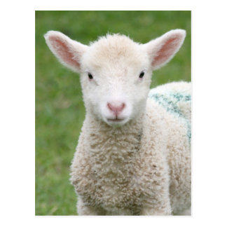 Spring Lambs Postcard