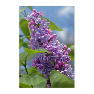 Spring Lilac Flower Nature Acrylic Wall Art