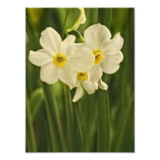 Spring Narcissus (Daffodil) Flower Photograph