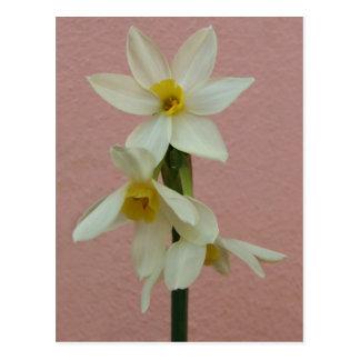 Spring Narcissus Postcard