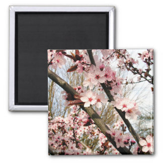 Spring Plum Blossoms Photograph Magnet