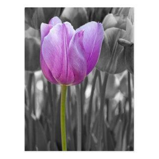 Spring Purple Tulip on Black and White Postcard