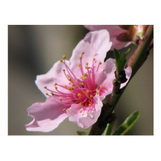 Spring Raspberry Bloom Postcard