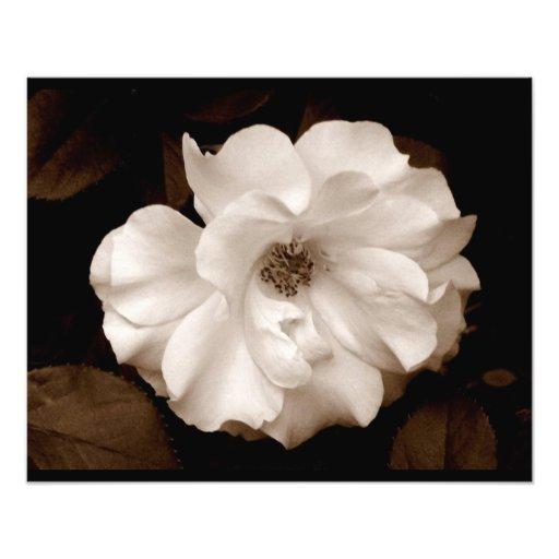 'Spring Sepia Rose' Photographic Print