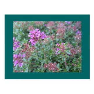 Spring Thyme Postcard