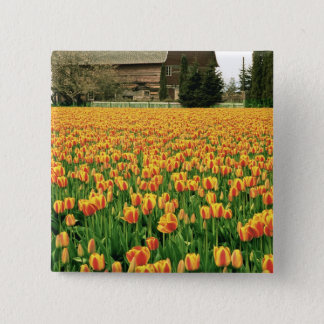 Spring tulips bloom in front of old barn. 15 cm square badge