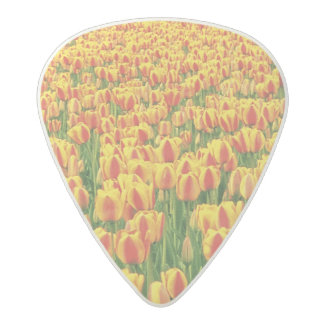 Spring tulips bloom in front of old barn. acetal guitar pick