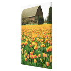Spring tulips bloom in front of old barn. canvas print