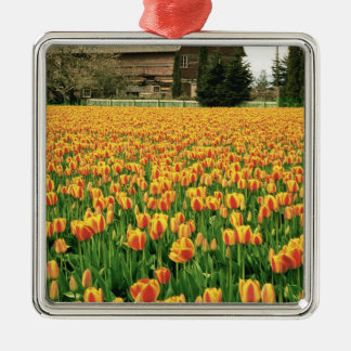 Spring tulips bloom in front of old barn. christmas ornament
