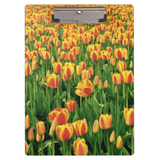 Spring tulips bloom in front of old barn. clipboards