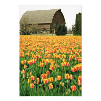 Spring tulips bloom in front of old barn. photo print