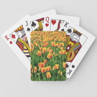 Spring tulips bloom in front of old barn. poker deck