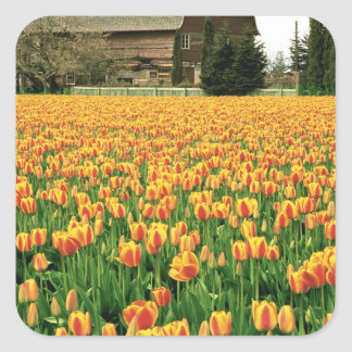 Spring tulips bloom in front of old barn. square sticker