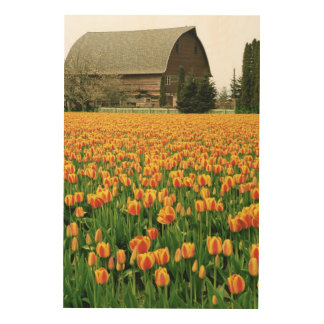 Spring tulips bloom in front of old barn. wood print