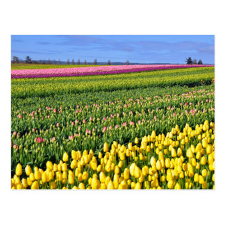 Spring tulips field postcard