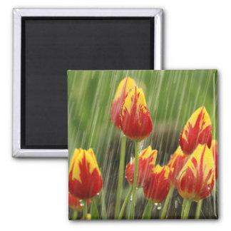 Spring Tulips Square Magnet