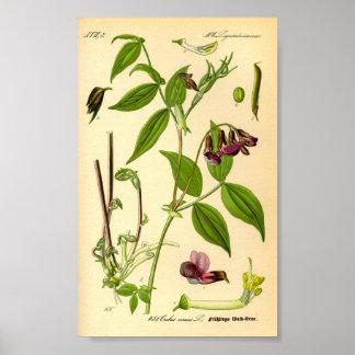 Spring Vetch (Lathyrus vernus) Poster