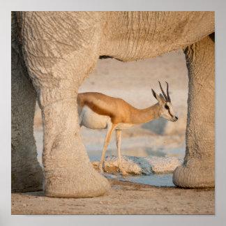 Springbok framed by elephant's legs poster
