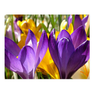 Spring's First Bloom: The Crocus Postcard