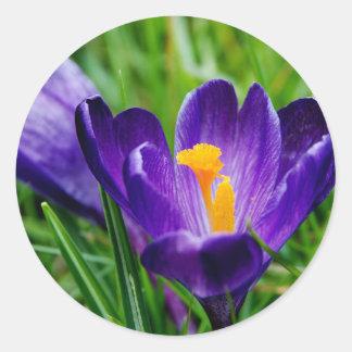 Springtime crocuses round sticker