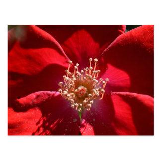 Springtime Red Rose Postcard