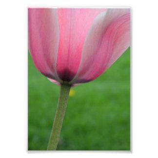 Springtime Tulip Photo