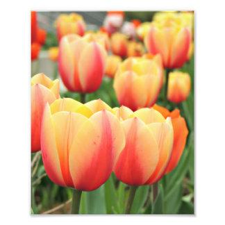 Springtime Tulips Photograph