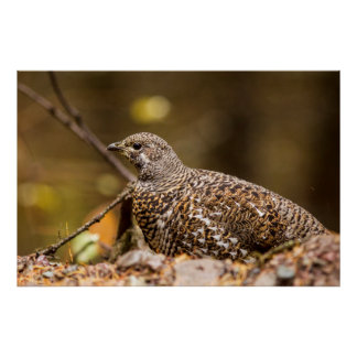 Spruce Grouse In Glacier National Park, Montana Poster
