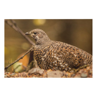 Spruce Grouse In Glacier National Park, Montana Wood Canvases