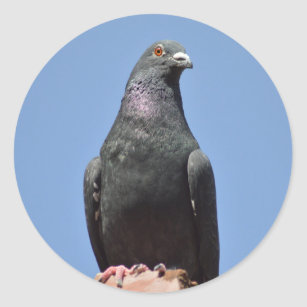 Spud the pigeon classic round sticker
