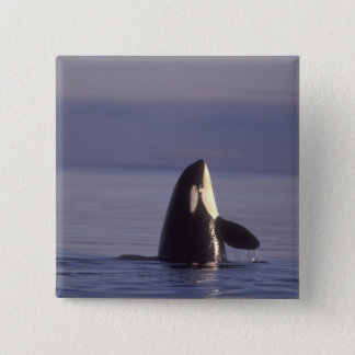 Spyhopping Orca Killer Whale (Orca orcinus) near 15 Cm Square Badge
