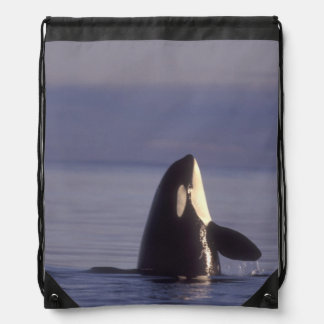 Spyhopping Orca Killer Whale (Orca orcinus) near Drawstring Bag