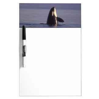 Spyhopping Orca Killer Whale (Orca orcinus) near Dry-Erase Boards