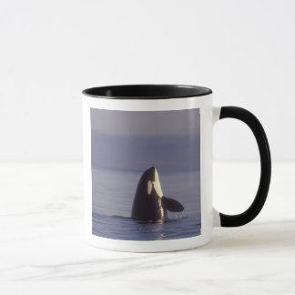 Spyhopping Orca Killer Whale (Orca orcinus) near Mug