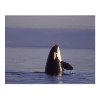 Spyhopping Orca Killer Whale (Orca orcinus) near Postcard