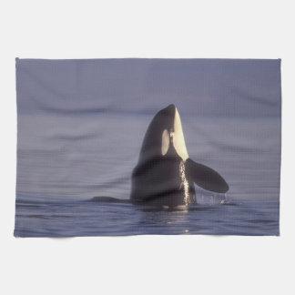 Spyhopping Orca Killer Whale (Orca orcinus) near Tea Towel