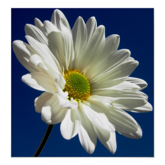 Square Daisy Poster